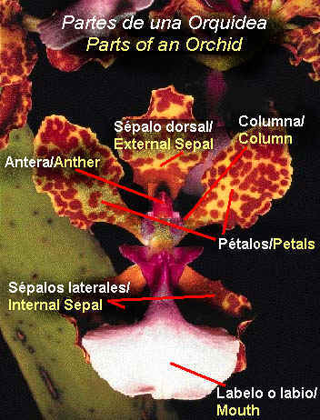 Partes de una Orqu�dea/Parts of an Orchid